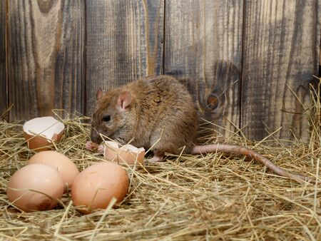 Close-up the young rat (Rattus norvegicus) eats hens egg in the chicken coop. Concept of rodent control.