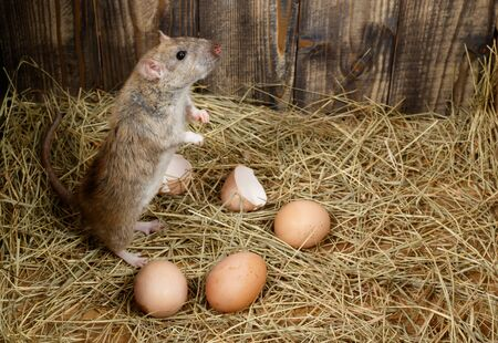 Close-up of young rat (hens and ratus norvegicus) stands near hens eggs. Top view. Concept of rodent control.