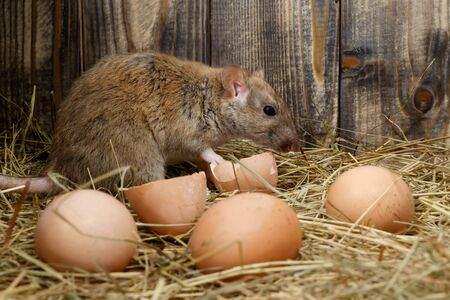 close-up the rat (Rattus norvegicus)   and hens eggs in the chicken coop on the background of wood boards
