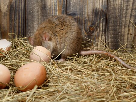 Close-up the young rat (Rattus norvegicus) eats hen's egg in the chicken coop. Concept of rodent control.