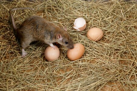 Close-up of the young rat (Rattus norvegicus) and hens eggs in the chicken coop. Top view. Concept of rodent control.