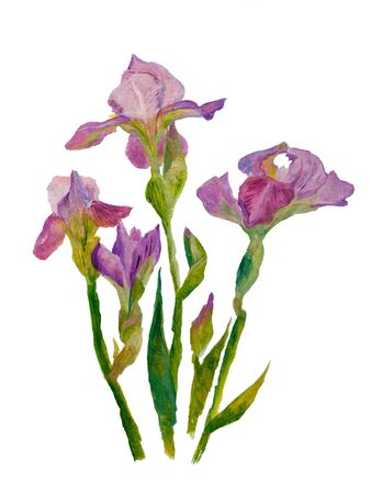 Painting oil on cardboard. Sketch. Blooming purple irises. Isolated on white.