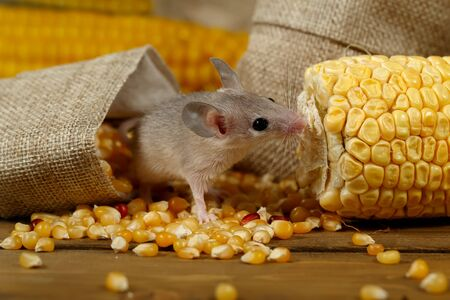 Closeup curious young gray mouse lurk near the corn and burlap bags on the floor of the warehouse. Concept of rodent control.  Imagens
