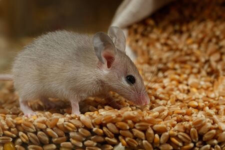 Closeup young gray mouse lurked on a pile of wheat in the barn. Concept of rodent control.