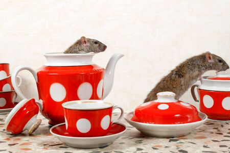 Closeup two rats (Rattus norvegicus) and  red tea set on countertop at kitchen in an apartment house.  One rat sits and looks out from teapot.