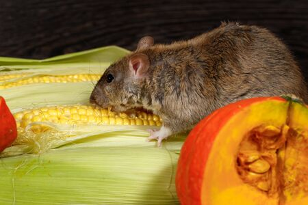 Close-up rat  (Rattus norvegicus) eating corn near red pumkin inside  of  pantry. Imagens