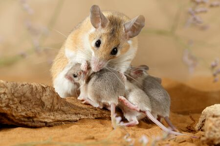 Close-up female spiny mouse (Acomys cahirinus) breastfeed the offspring.