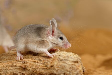 Close-up young spiny mouse  (Acomys cahirinus) on top of  snag. Banque d'images