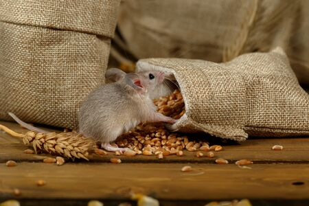 Closeup young gray mouse sits near the burlap bags with wheat on the floor of the warehouse. Concept of rodent control. Reklamní fotografie