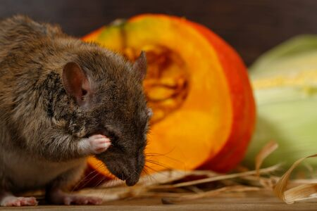 Close-up rat (Rattus norvegicus) sits near orange pumpkin inside of pantry. Imagens