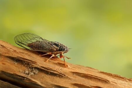 Cicada Euryphara,  known as european Cicada, sitting on a twig with a green background.Garden's pest.