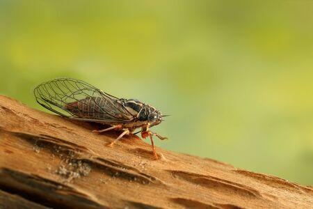 Cicada Euryphara,  known as european Cicada, sitting on a twig with a green background.Gardens pest.