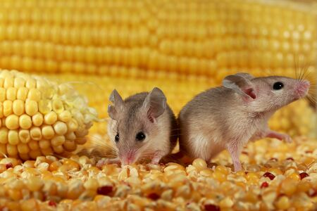 Closeup two curious young gray mouse lurk near the corn in the warehouse. Concept of rodent control.  Archivio Fotografico