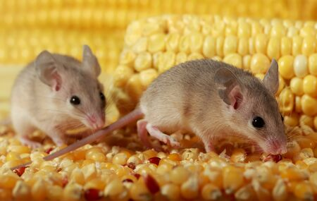 Closeup two curious young gray mouse sneak in the corn barn. Concept of rodent control. Small DoF focus put only to one mouse.