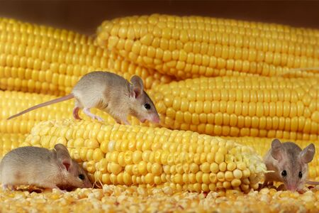 Close-up three young mice and yellow sweet corn cobs in the warehouse. Concept of rodent control.