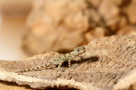 Close-up young gecko (Tenuidactylus caspius) hunts in the desert. Small DoF focus put only to head of gecko. Banque d'images