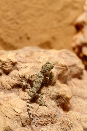 Close-up of a young Gecko (Tenuidactylus caspius) sitting on a rock and looking down.  Top view with copy space on top. The vertical composition. Banque d'images
