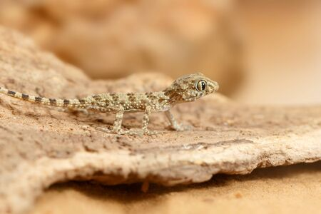 Close-up of a young gecko (Tenuidactylus caspius)  hunts in the desert. Imagens