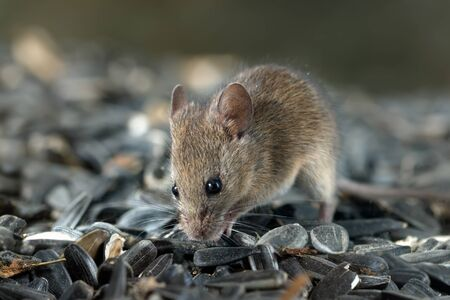 Closeup young  vole mouse digs a hole into pile of sunflower seeds in warehouse. Concept of fighting with rodents.  Banque d'images