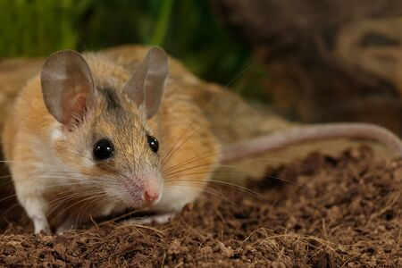 closeup young female spiny mouse (Acomys cahirinus) hunts on insect. position before jumping Banque d'images