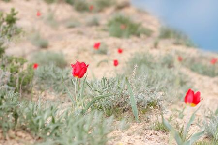 blossoming red tulips (Tulipa gesneriana, Tulipa suaveolens, Tulipa schrenkii) on the mountainside Bogdo in desert.   small DoF focus put only flower in center Banque d'images