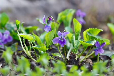 Closeup purple flowers (Scientific name: Viola odorata, Sweet Violet, English Violet, Common Violet or Garden Violet) blooming in spring  in wild meadow. Nature background. Banque d'images
