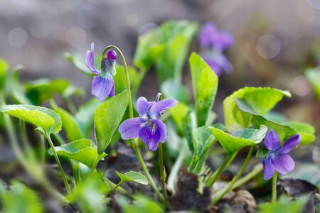 Closeup purple flowers (Scientific name: Viola odorata, Sweet Violet, English Violet, Common Violet or Garden Violet) blooming in spring  in wild meadow. Nature background. Imagens