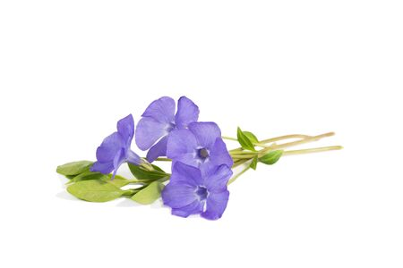 closeup bouquet of Lesser periwinkle (Vinca minor) isolated on white
