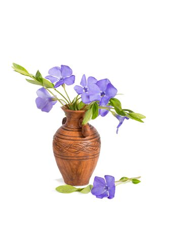closeup bouquet of Lesser periwinkle (Vinca minor) in the clay  pitcher isolated on white Imagens