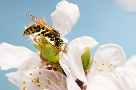 closeup wasp (Polistes dominula) on flowers of apricot early spring on sky background Imagens