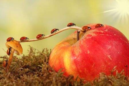 Close-up many little ladybugs moves on a branch from fungus on Apple. Animal humor. the concept of movement or migration
