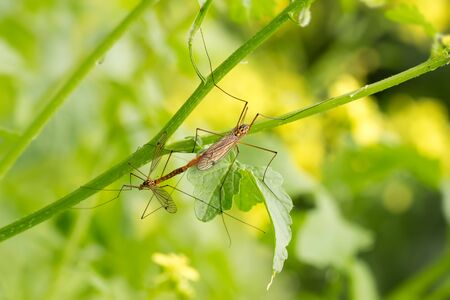 close-up male and female of mosquito long legs (nephrotoma crocata, tipula crocata, crane fly) on green branch. Intercourse. Banque d'images