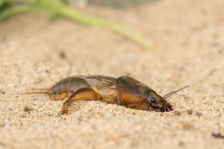 Close-up the mole cricket digs the soil hole 版權商用圖片