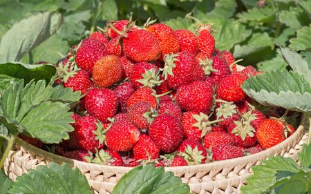 Close-up gathered strawberries in the garden between green leaves