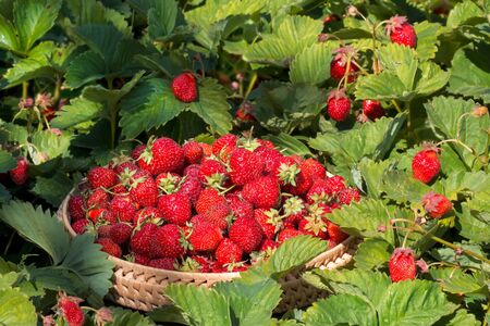 Close-up gathered strawberries in the garden between green leaves and red berries Imagens