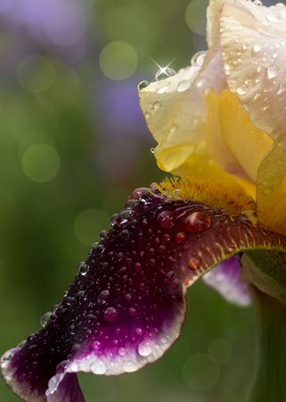 closeup yellow maroon iris with water drops in the garden after rain Imagens - 141816449
