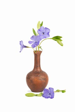 closeup bouquet of Lesser periwinkle (Vinca minor) in the clay  pitcher isolated on white Imagens - 142966128