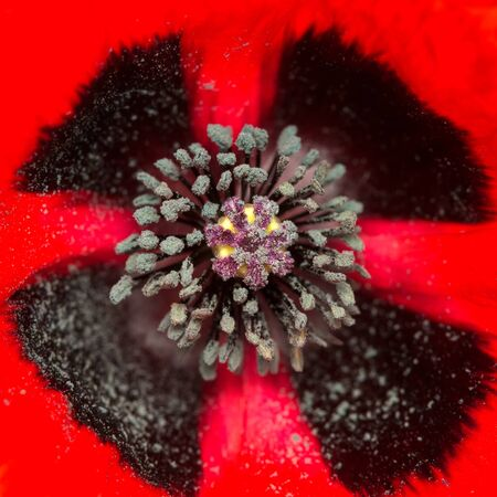 closeup of the core of a blossoming red poppy. square composition