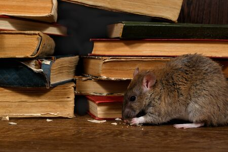 Close-up the rat (Rattus norvegicus) rat chewing paper near pile of old books in the library. Concept of rodent control. Dark composition. Banque d'images - 143132944