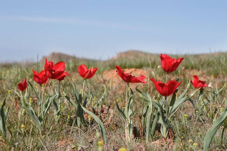 close-up red tulips (Tulipa gesneriana, Tulipa suaveolens, Tulipa schrenkii) in desert near mount Bogdo. soft focus, shallow DOF. 免版税图像