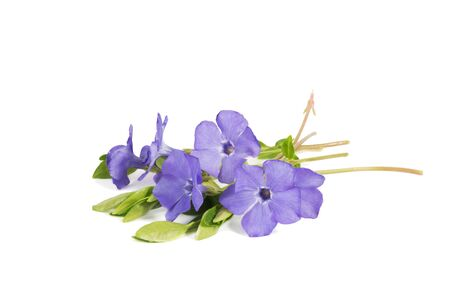 closeup bouquet of Lesser periwinkle (Vinca minor) isolated on white Imagens - 143721881