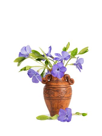 closeup bouquet of Lesser periwinkle (Vinca minor) in the clay  pitcher isolated on white 版權商用圖片
