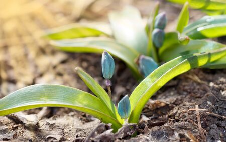 Closeup plants grows from the ground. Scilla first flowers that blossom after a long winter. Concept of new life. Shallow depth of field. Sunset