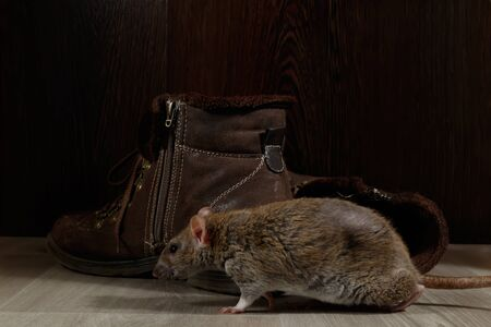 Close-up a rat crawling near brown boots on the gray floors. Imagens - 146598576