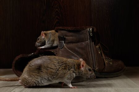 Close-up two rats crawling near brown boots on the gray floors. The concept of rodent control.