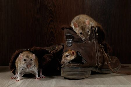 Close-up three rats climb inside brown shoes on the gray floors. The concept of rodent control.