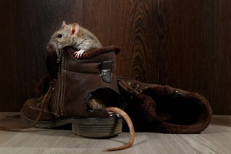 Close-up a rat sits in ragged brown boot on the gray floors. The tail protrude from hole. The concept of rodent control. 版權商用圖片