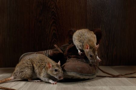 Close-up two rats near   brown boots on the gray floors. The concept of rodent control  in the apartment. Extermination.
