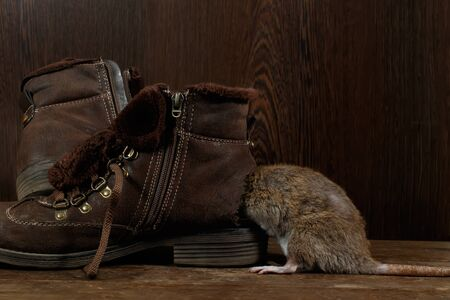 Close-up a rat crawls into   a leaky brown boot on a wooden floor. The concept of rodent control  in the apartment. Extermination. Imagens