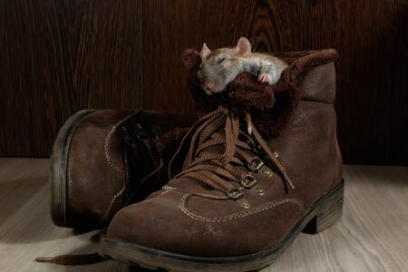 A rat sleeping in a brown shoe on a wooden floor. The concept of rodent control  in the apartment. Extermination.